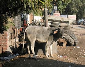 Photo: Lehmä, tässäkin