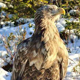 This is Miguel the White tailed eagle by Roald Heirsaunet - Animals Birds