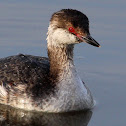 Horned Grebe (Nonbreeding) (Catching a Fish)