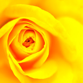 Whorls by Arup Acharjee - Abstract Fine Art ( rose, beautiful, yellow, close up, flower )