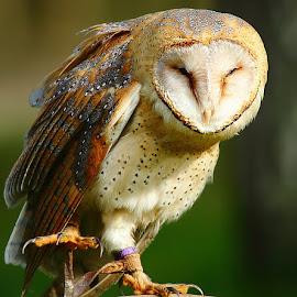 La patte de l'effraie by Gérard CHATENET - Animals Birds (  )