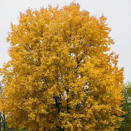 Fall into Yellow by Lori Fix - Nature Up Close Trees & Bushes