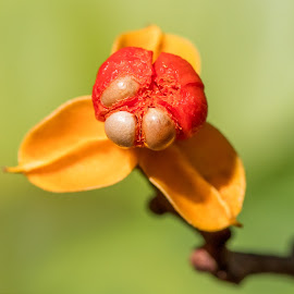 Seed Pod by Carl Albro - Nature Up Close Other plants ( seed pod, red, green, seeds, yellow )