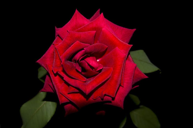Red rose di LorenzoVitali