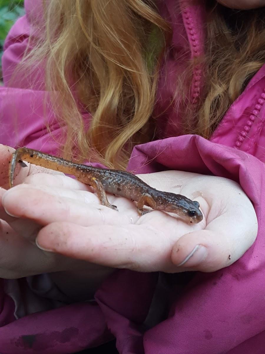 Clouded salamander