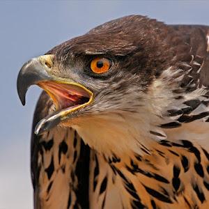hunting eagke.jpg