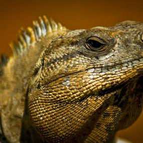 Lizard by Geary LeBell - Animals Reptiles ( headshot, lizard, iguana, reptile, reptilia )