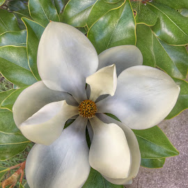 Magnolia by Manuel Castro - Flowers Single Flower