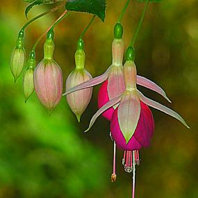 by Carmen Quesada - Flowers Flower Gardens ( decor, dancing, purple, blooms, green, fuchsia, pink, buds, flowers, floral )