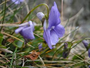 Photo: Skogfiol en vanlig art ute i kystlyngheia