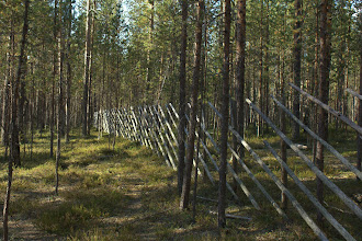 Photo: A traditional finnish fence - for keeping the reindeer out