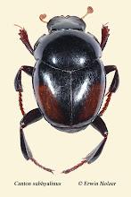 Photo: Canton subhyalinus, 5,5 mm, Costa Rica, Corcovado NP, Sirena (08°28´/-83°35´), leg. Erwin Holzer, det. Darren J. Mann, vid. Angel Solis