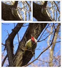 Photo: 撮影者:sayoko sato アオゲラ タイトル:何を食べているの? 観察年月日:2014年3月11日 羽数:1羽 場所:高幡台団地緑地 区分:採餌に見えました メッシュコメント:ここではアオゲラもアカゲラもよく見かけるのですが、今期は両種ともあまり姿を見かけませんでした。木の二股の所に顔を突っ込んで何かを食べていたようでした。