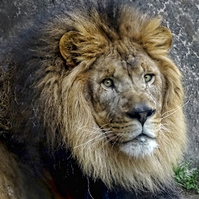 Old Male Lion by Nancy Tubb - Animals Lions, Tigers & Big Cats ( big cat, lion, wild, cat, feline )