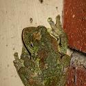 Green-eyed Tree Frog