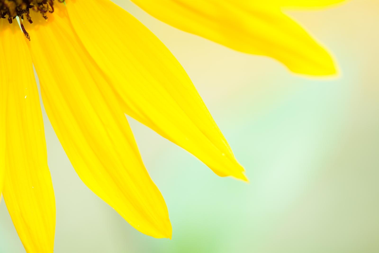 Photo: 夏にグッパイ Goodbye to summer.  夏の終わりに咲いていた 小さな向日葵たち 小雨日和の曇り空でも 元気いっぱいに笑顔を振り撒く 夏にグッパイ また次の季節に  Photo of Small sunflower. (砧公園のちいさな向日葵) Nikon D7100 MACRO 105mm F2.8 EX DG OS HSM #cooljapan #100tokyo #365cooljapanmay #東京フォト #tokyophoto #GPlusPhotoWalkJapan [ Day141, September 30th ] (4枚追加:Added 4 photo) 4枚目はおまけでチェリーセージとシジミチョウです。