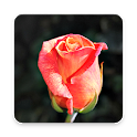 200 Rose Wallpapers icon