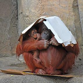 by Asya Atanasova - Animals Other Mammals ( maternity, animals, zoo, orangutan, baby, mounk, monkey, animal,  )