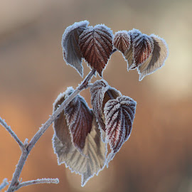 Frosty Raspberry Leaves by Patricia Phillips - Nature Up Close Leaves & Grasses ( alaska autumn frost raspberry leaves )