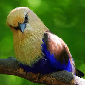 Blue Belly Roller by Max Molenaar - Animals Birds ( animals, nature, zoo, travel, birds )
