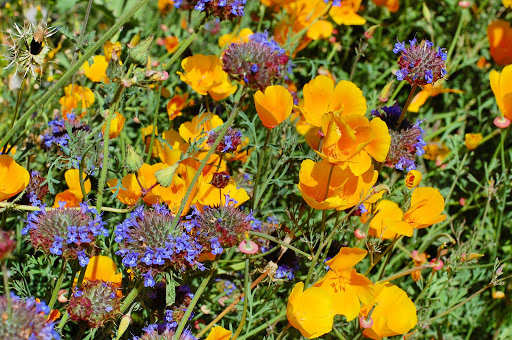 poppies.jpg - The hills are alive with the color of golden poppies.