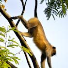 Hanuman langur, Southern plains Gray Langur