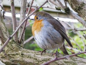 Photo: Garden Robin
