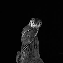 Scops by Garry Chisholm - Black & White Animals ( raptor, owl, bird of prey, nature, creative, garry chisholm )