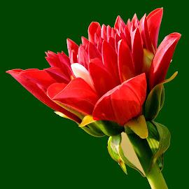 DAHLIA by SANGEETA MENA  - Flowers Flower Buds (  )