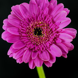 Purple Gerbera by Gillian James - Flowers Single Flower ( purple, daisy, close up, gerbera, flower )