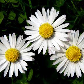 trio by Jasminka Lunjalo - Nature Up Close Flowers - 2011-2013