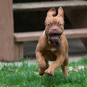 Wildthing by Gary Enloe - Animals - Dogs Running ( mastif, pet, puppy, dog )