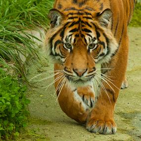 STALKER by John Dutton - Animals Lions, Tigers & Big Cats ( sumtran tiger, cat, tiger, prowl, sumatran, portrait )