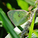 Scudder's Willow sulphur butterfly