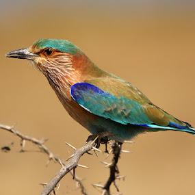 Indian Roller  by Sharad Agrawal - Animals Birds ( bird, nature, udaipur, rajasthan, wildlife, india, birds )