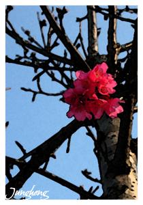 公園裡的櫻花