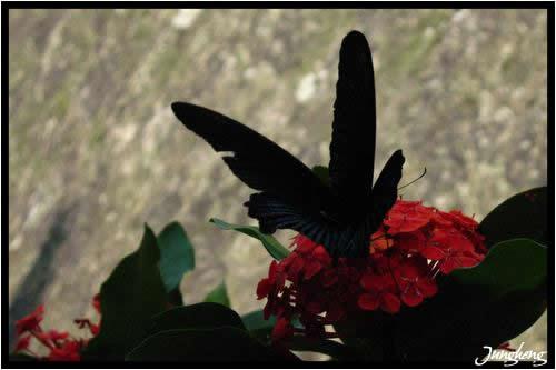 三峽行脩宮所拍到的鳳蝶