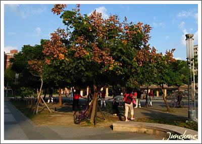 開得茂盛的台灣欒樹