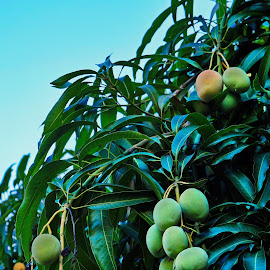 Mango Tree DR by Charles Saunders - Food & Drink Fruits & Vegetables ( sky, natural, republic, tree, source, mango, dominican,  )