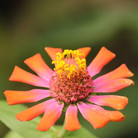 red angel  by Nadia Puteri Meutia - Nature Up Close Gardens & Produce
