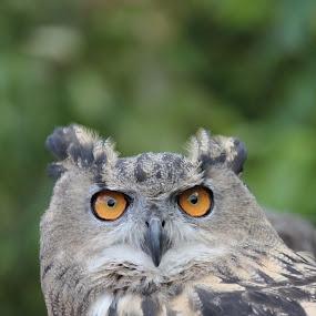 Owl by Richard Moyen - Animals Birds ( owl, beek, feathers, birds, eyes )