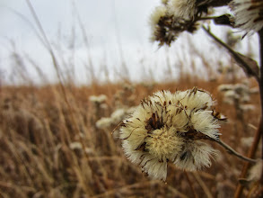 Photo: Fluffy seeds in a brown fall field at Carriage Hill Metropark in Dayton, Ohio.