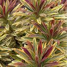 https://www.vitroflora.pl/img/produkty/rosliny/_137X137/byliny-i-trawy_euphorbia-wilczomlecz_79287_3.jpg
