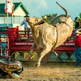 Rodeo. by Andrzej Bajer - Sports & Fitness Rodeo/Bull Riding ( rodeo., animals, bulls, bull, animal )