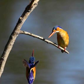 Something for me too? by Chris Krog - Animals Birds ( alcedo, malachite, fisher, cristata, king )