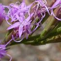 Fewflower Blazing Star