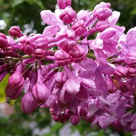 Wet Lilacs by Rita Goebert - Flowers Tree Blossoms (  )