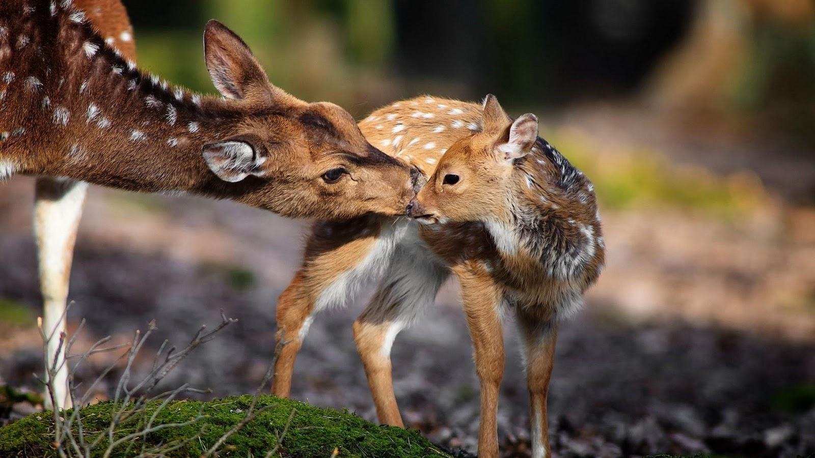 Deer animal wallpapers android apps on google play - Hunting wallpaper for android ...