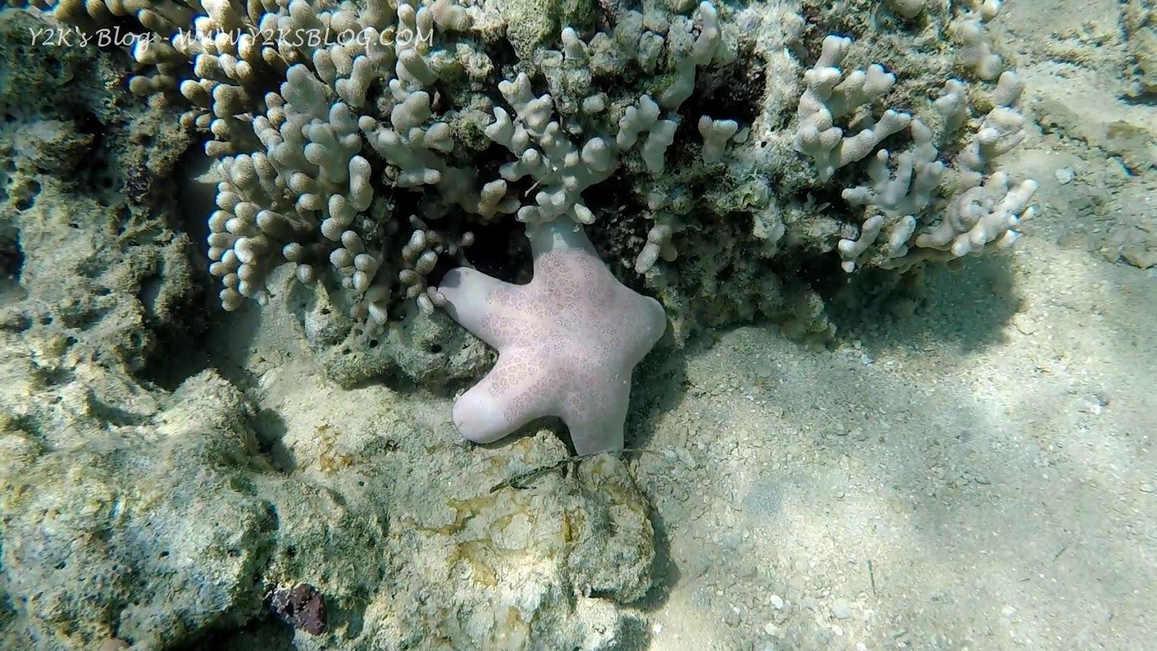 La stella marina rosa puffosa cicciottosa - Port Maurelle