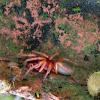 Pillbug hunter spider
